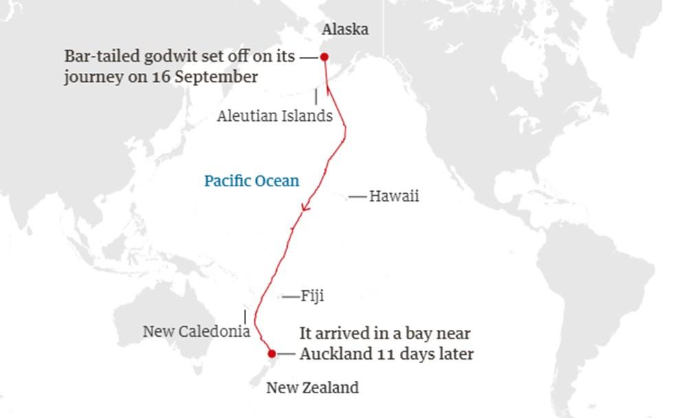 11 gün boyunca aralıksız olarak 12 bin kilometre uçan kuş dünya rekoru kırdı - 2