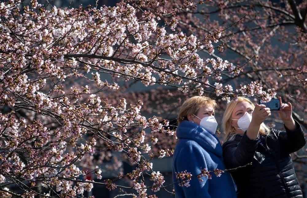 Sakura çiçekleri son bin 200 yıldır bu kadar erken açmadı: İklim değişikliği nedeniyle ekosistemler çökme noktasında - 1