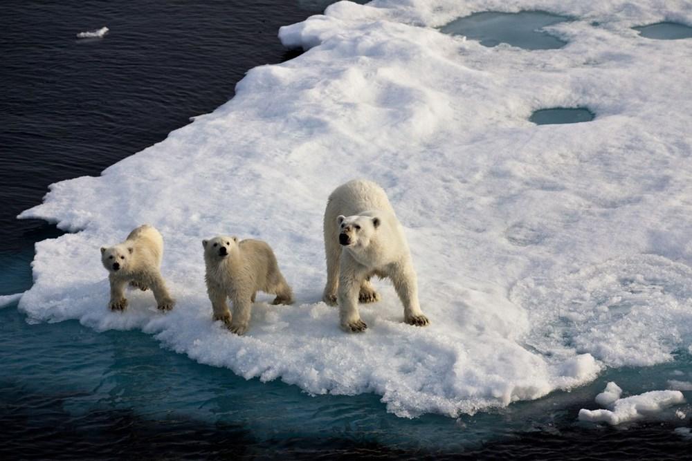 Danimarkalı yetkililerden tepki çeken karar: Kutup ayısını vurabiliriz - 10