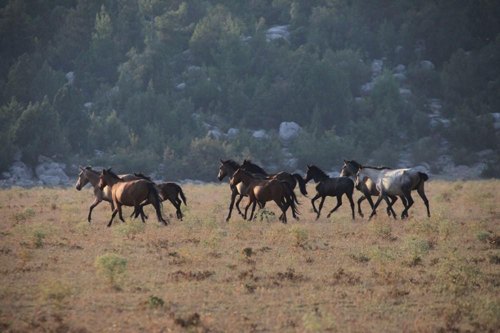 Soyları Osmanlı süvari birliğine dayanıyor! Torosların vahşi güzelliği 'Yılkı atları' - 24