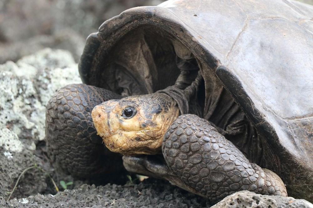 100 yıl önce soyu tükendiği düşünülen dev kaplumbağa Galapagos Adaları'nda bulundu - 2