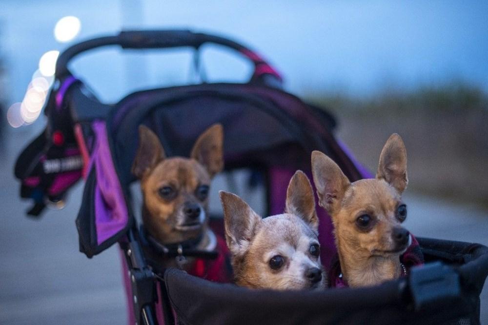 Köpek adları da corona virüsten etkilendi - 6
