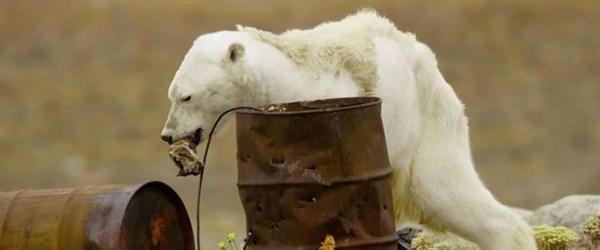 Küresel ısınmanın acı yüzü (Kutup ayıları ölüyor)