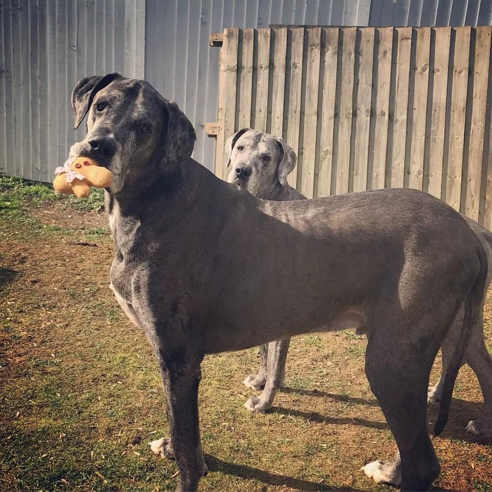 Dünyanın en uzun köpeği Freddy hayatını kaybetti - 31
