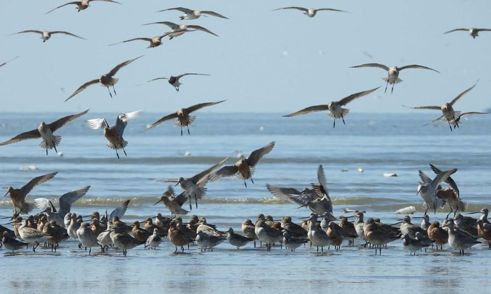 11 gün boyunca aralıksız olarak 12 bin kilometre uçan kuş dünya rekoru kırdı - 6