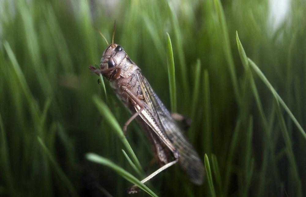 Yenilebilir böcekler yakında süpermarketlerde: Gıda firması aromalı çekirge şekerlemeleri üretti - 3