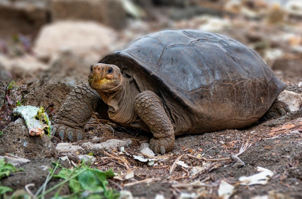 100 yıl önce soyu tükendiği düşünülen dev kaplumbağa Galapagos Adaları'nda bulundu - 1