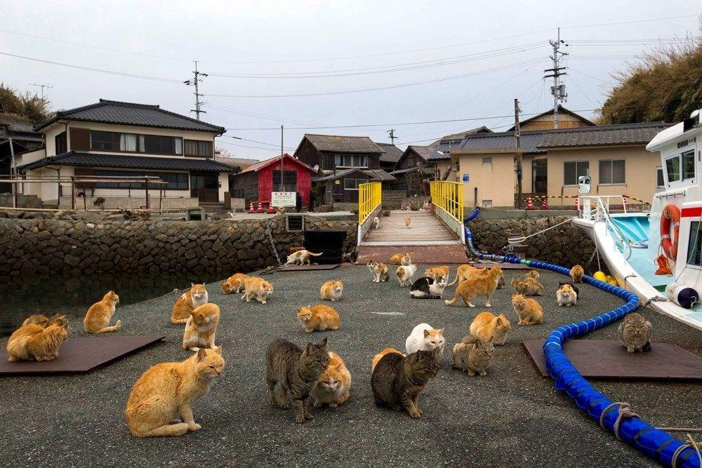 Japonya'daki kedi adası: Aoshima - 7