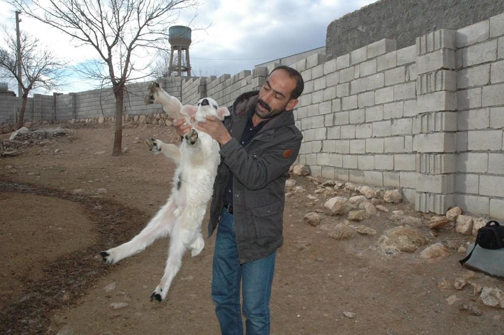 Diyarbakır'da 6 ayaklı doğan kuzu görenleri şaşırtıyor - 9