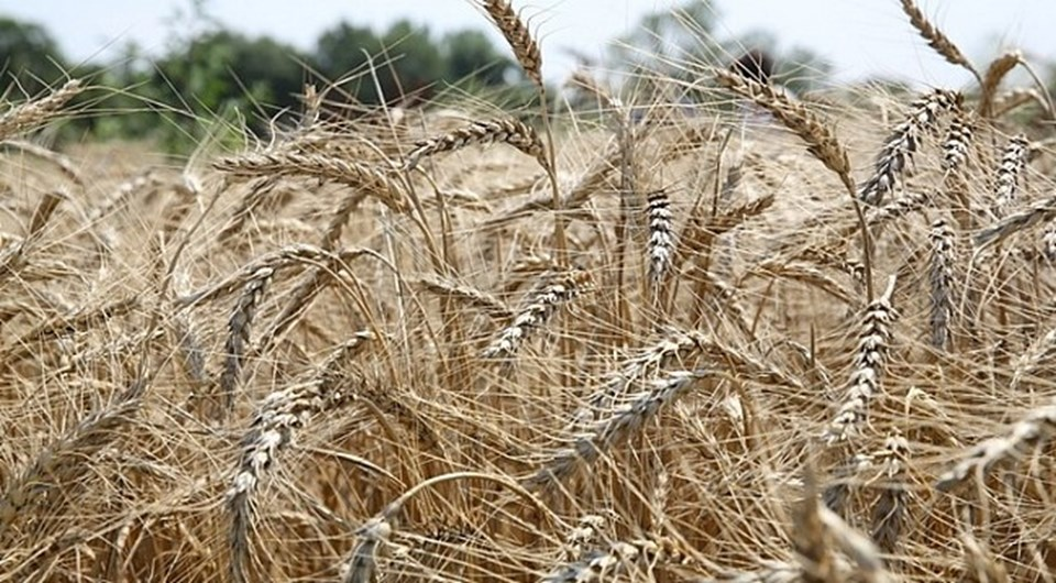 Siyez, Fransa, Fas, Yugoslavya ve Türkiye'de yetişen, Triticum boeoticum türünden yabani buğday türünün kültüre alınmış formudur. İlk kez Güneydoğu Anadolu bölgesinde yer alan Karaca Dağ'da evcilleştirildiği düşünülüyor.