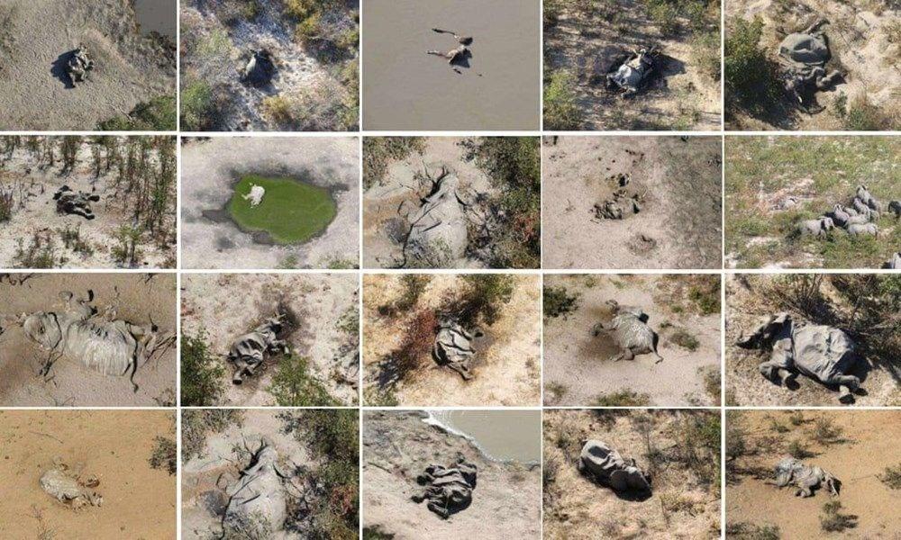 Bostvana'daki gizemli fil ölümlerinin nedeni açıklandı - 1