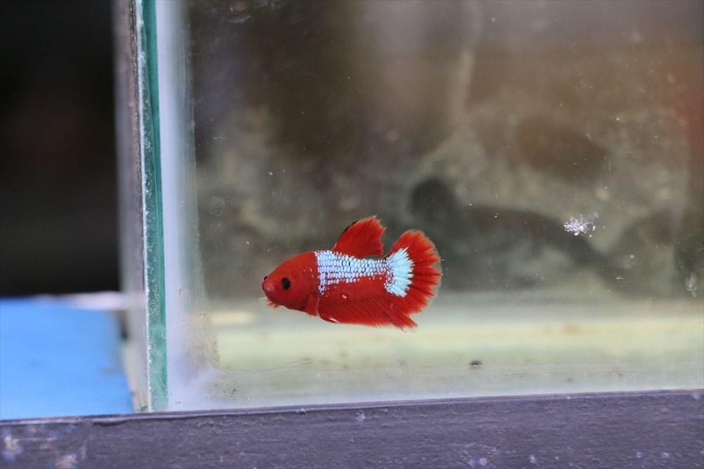 Betta balıkları yarışma için 'kuaförde' güzelleşiyor - 7
