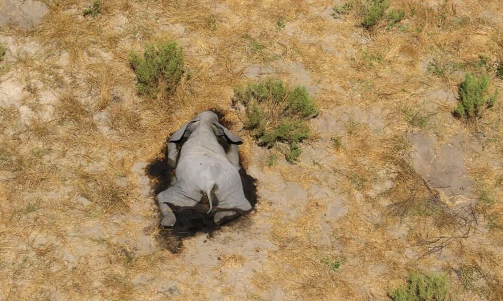 Bostvana'da yüzlerce fil gizemli bir şekilde öldü - 2