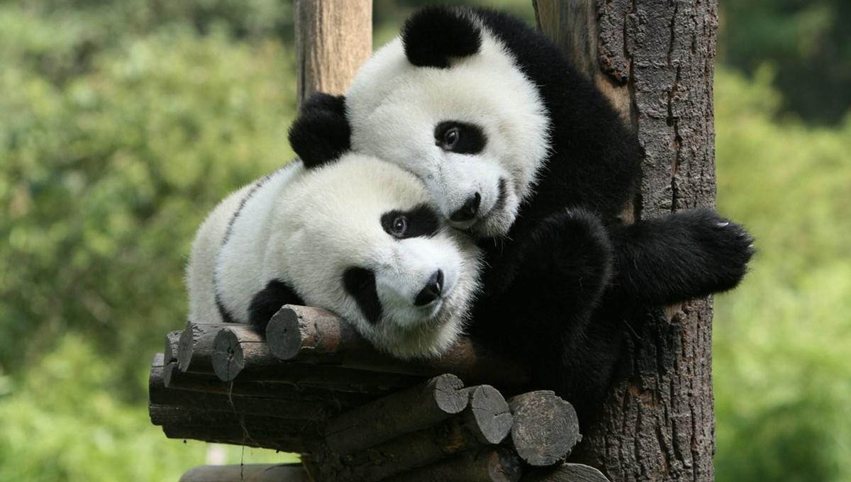 p  Koruma çabaları sonuç verdi: Dev pandalar artık nesli tükenmekte olan türler arasında değil  anda