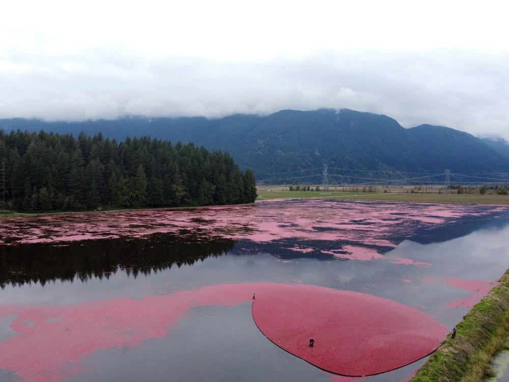Kanada'da kızılcık hasadı - 9