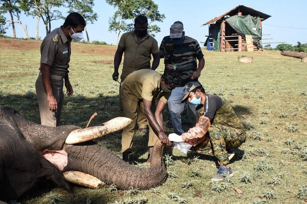 Hindistan'da bir aslanın Covid-19'dan ölmesinin ardından 28 fil corona virüse yakalandı - 3