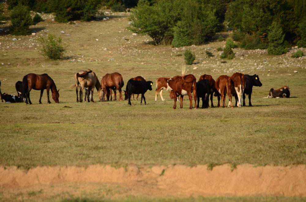 Soyları Osmanlı süvari birliğine dayanıyor! Torosların vahşi güzelliği 'Yılkı atları' - 13