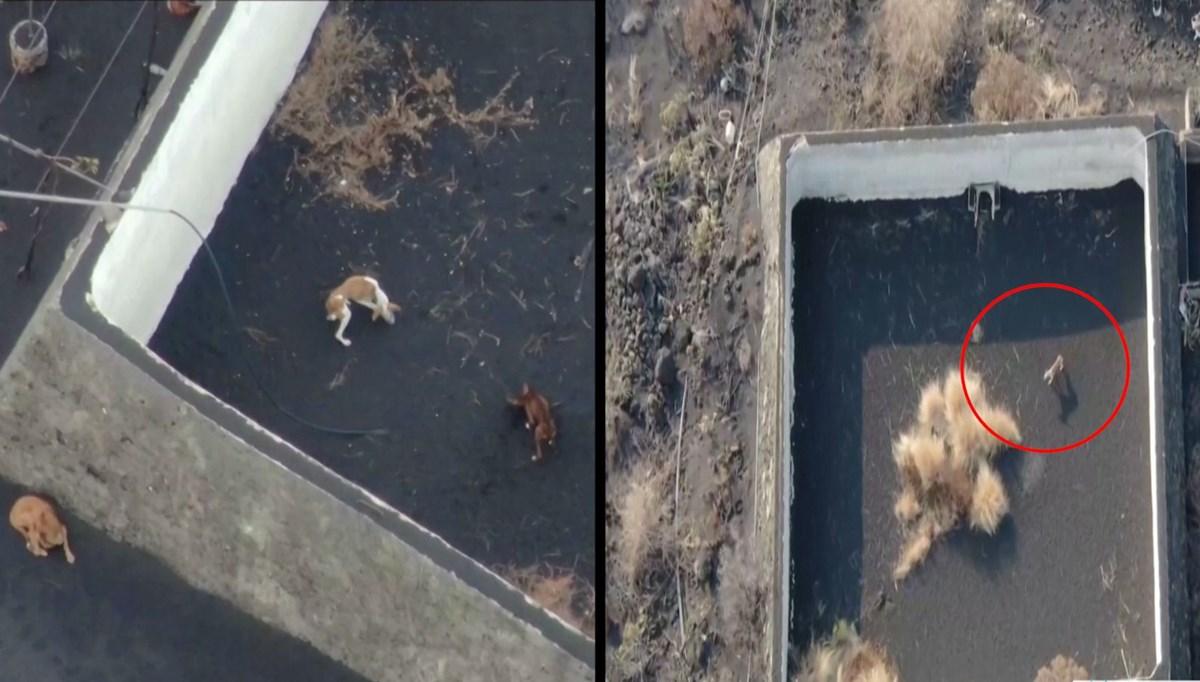 Lavların ortasında kalan köpeklere drone ile yardım