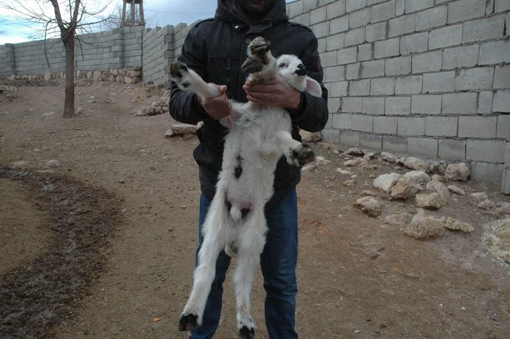 Diyarbakır'da 6 ayaklı doğan kuzu görenleri şaşırtıyor - 3