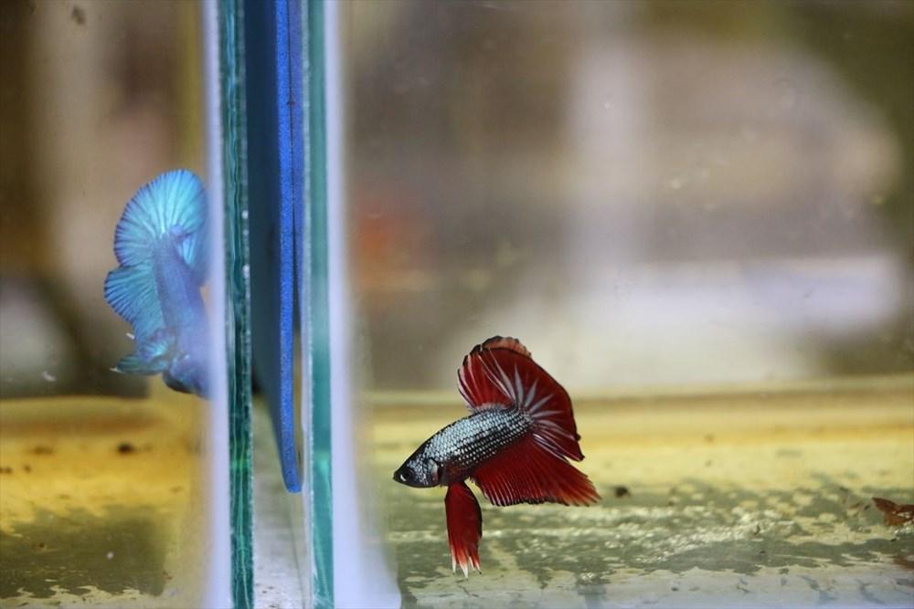 Betta balıkları yarışma için 'kuaförde' güzelleşiyor - 10