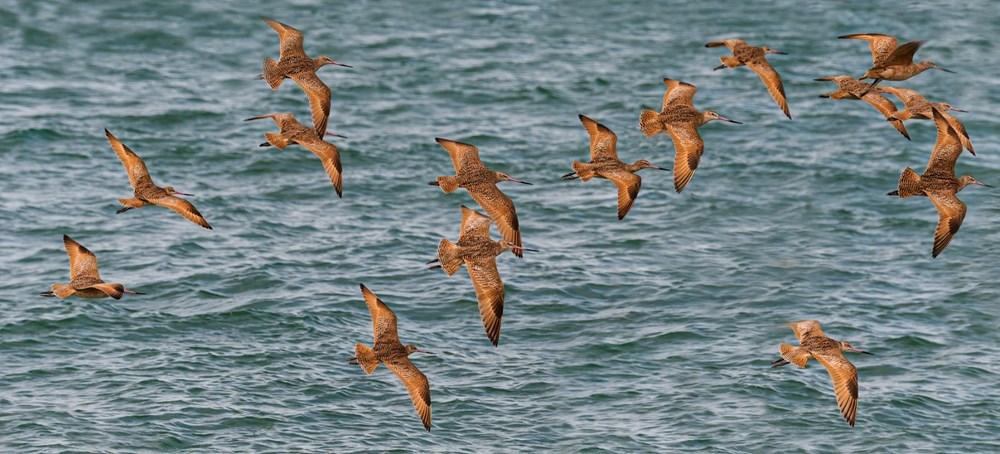 11 gün boyunca aralıksız olarak 12 bin kilometre uçan kuş dünya rekoru kırdı - 7