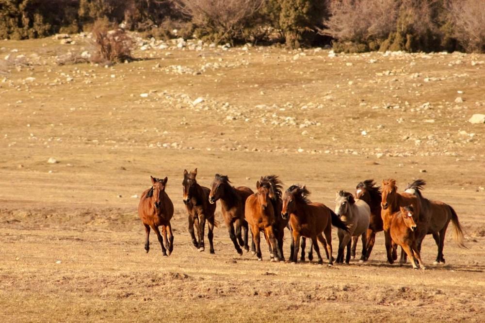 Soyları Osmanlı süvari birliğine dayanıyor! Torosların vahşi güzelliği 'Yılkı atları' - 1