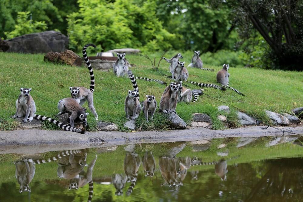 Bursa'daki lemur ailesi büyüyor - 3
