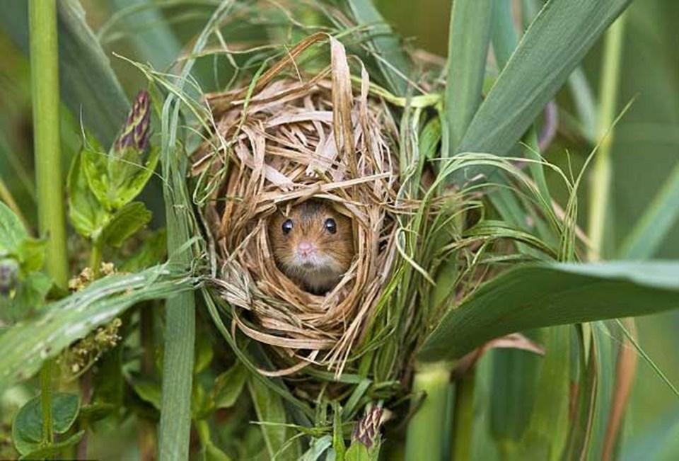 Ev gibi güvenli: tarla faresi kamıştan yaptığı güvenli yuvasında nöbet tutuyor.