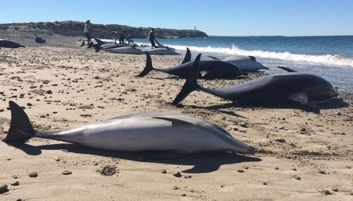 60 dolphins washed ashore in Ghana