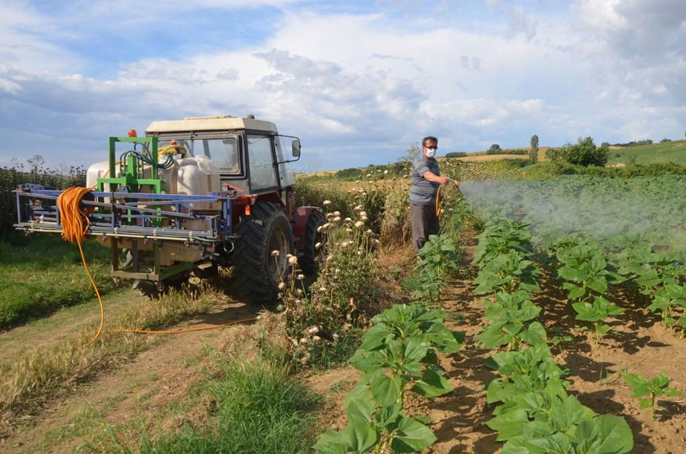 Tekirdağ'da ayçiçeği tarlalarında çekirge istilası