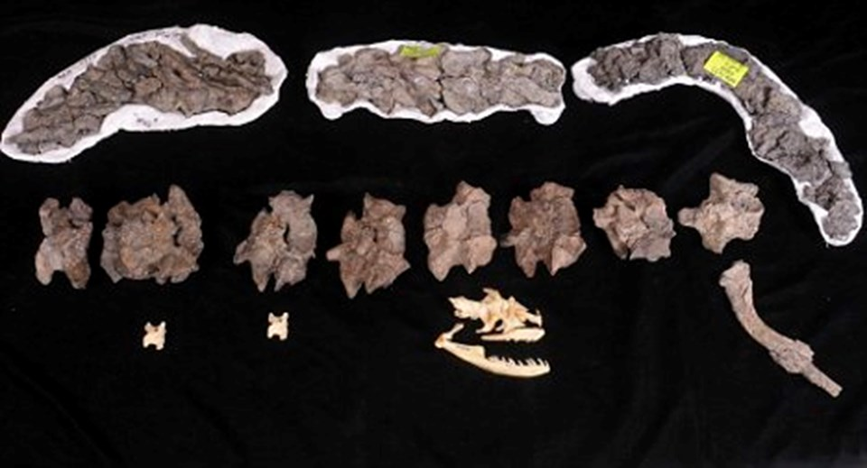 Titanoboa kemikleri.