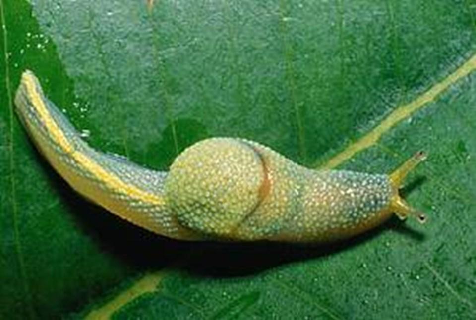 Ibycus rachelae- Aşk okları fırlatan kabuksuz sümüklüböcek