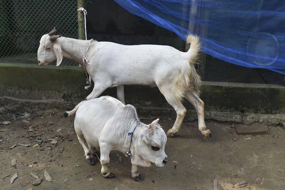 Binlerce kişi cüce ineği görmek için akın etti: Halk sağlığını tehdit ediyor - 11