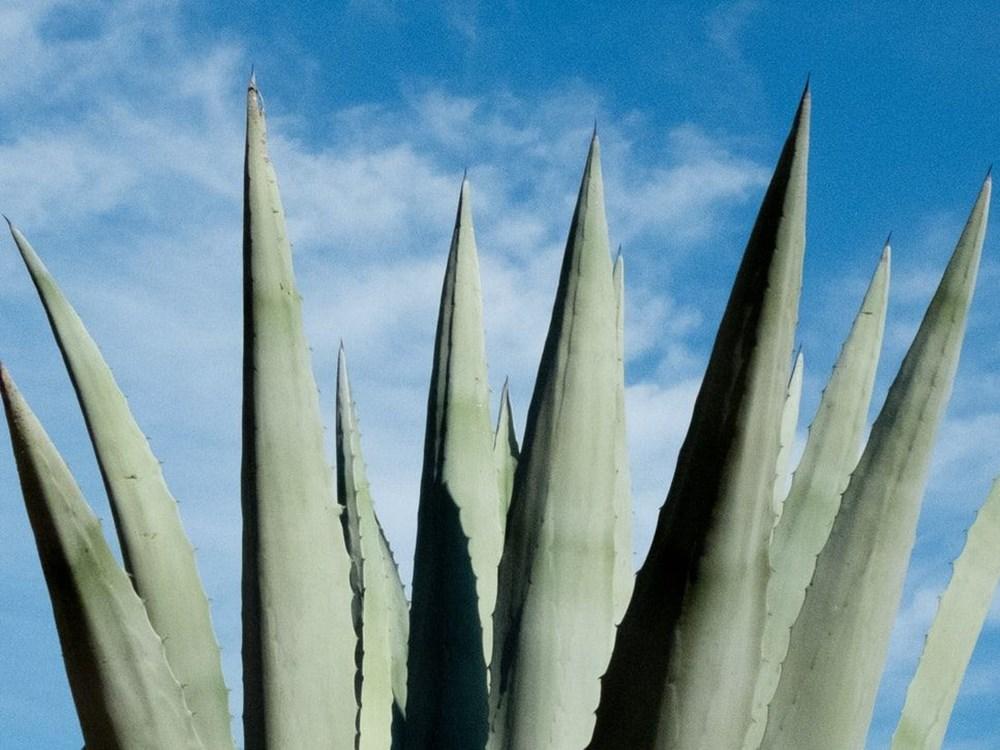 Aloe Vera (tıbbi sarısabır) nedir? Aloe Vera bitkisine nasıl bakılır? Faydaları nelerdir? - 7