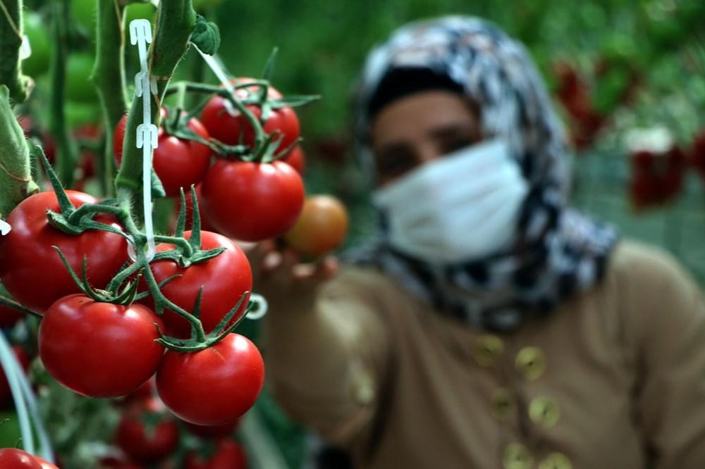Hava sıcaklığının eksi 40'a kadar düştüğü Çaldıran'da, serada domates üretimi - 10
