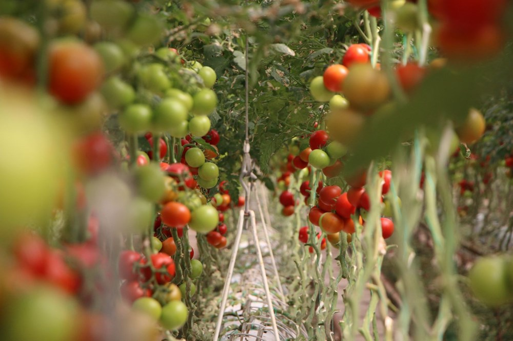 Elazığ'da topraksız tarım, kadınlara iş kapısı oldu - 5