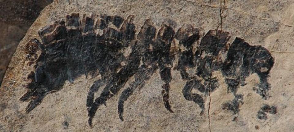 Bir eklembacaklı grubu olan isopodlara ait bir tür.