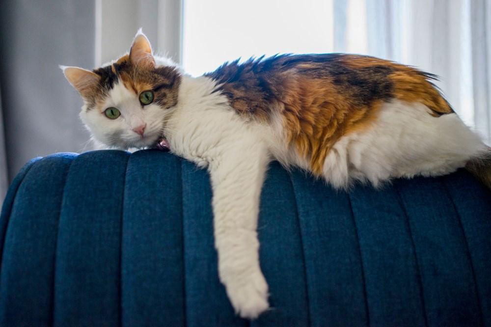 Avrupa kedi sahipliği oranı belli oldu: Türkiye'nin yüzde 19'u kedi sahibi - 1