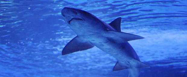 köpekbalığı.jpg