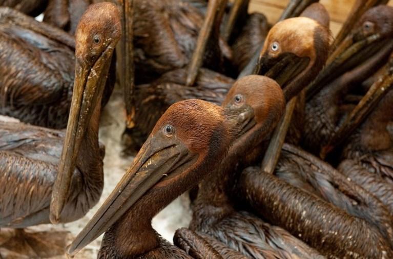 BP'nin neden olduğu 2010 yılındaki Meksika Körfezi petrol sızıntısından olumsuz etkilenen pelikanlar.