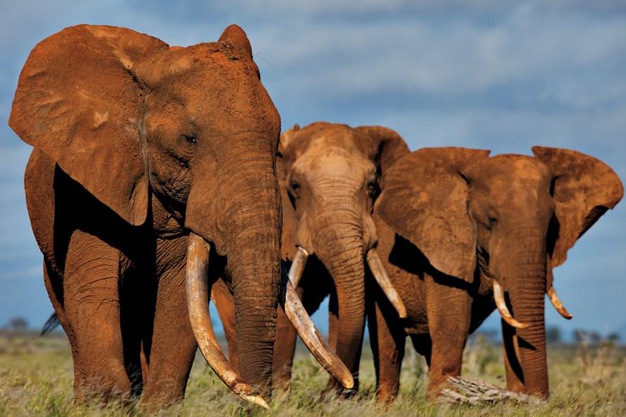 Büyük dişli son fillerden bazıları Kenya, Tsavo'da yaşıyor. Yerel karaborsada 6 bin dolara satılan tek bir büyük fildişi, vasıfsız bir Kenyalı işçiyi 10 yıl boyunca geçindirmeye yetiyor.
