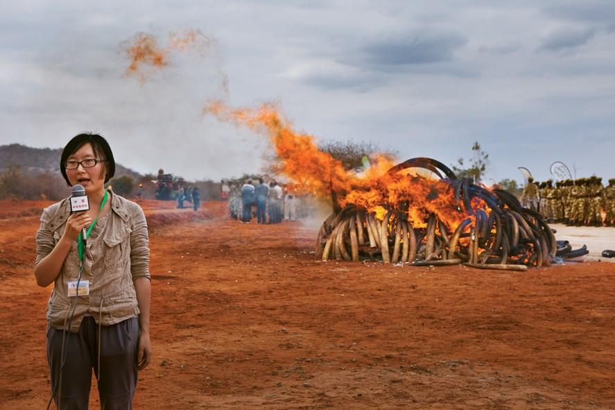 Çinli gazeteci, 2011'de Kenya'da gerçekleştirilen 5 ton kaçak fildişinin yakılması olayını haber yapıyor... Kenya, 1989'da dünya çapında fildişi yasağının başlatılmasına önayak olduysa da son dönemlerde elindeki fildişlerini stokluyor.