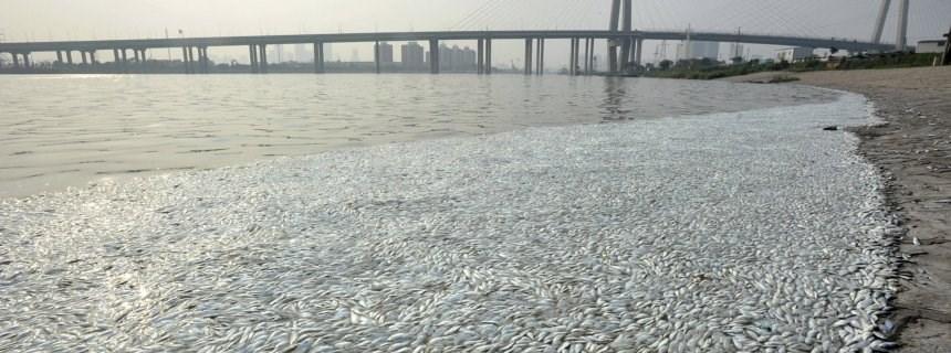 Siyanür: Çin'deki Siyanür Patlaması Sonrası Nehirde ölü Balıklar