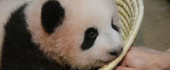 çin panda endonezya diplomat280917.jpg