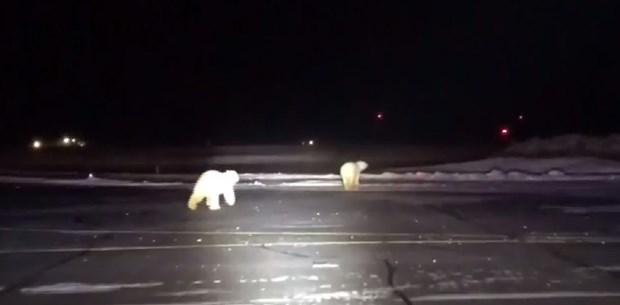 Havalimanına kutup ayıları girdi