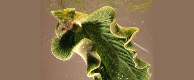 Elysia chlorotica.jpg