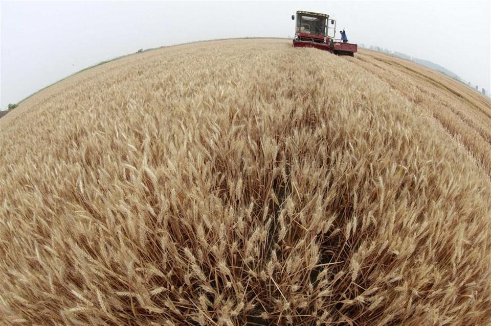 Buğday hasatı