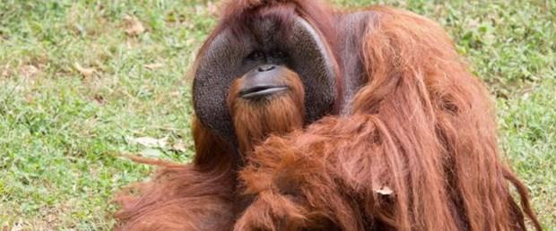orangutan işaret dili chantek080817.jpg