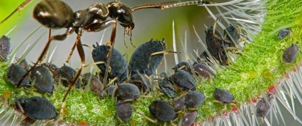 fiji karınca kahve tohum241116.jpg