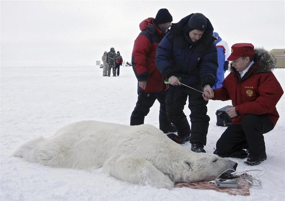 Kutup ayısına izleme cihazı taktı